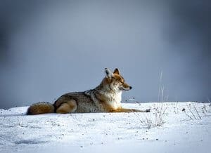 coyote lying on the snow